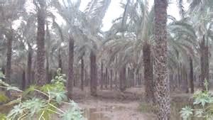 نخلستانهای بوشهر در خطر هستند