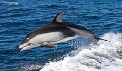 کشف شواهد جدید از عزاداری دلفینها