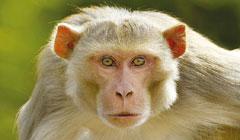 میمونها هم خطای دید دارند