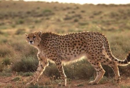 11گونه حیات وحش یزد درمعرض خطر انقراض