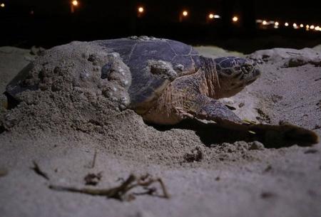 تخمگذاری لاکپشتهای در معرض انقراض