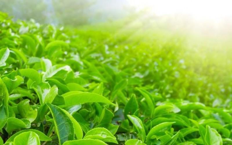 چای سبز سلاح جدیدی در برابر سرطان