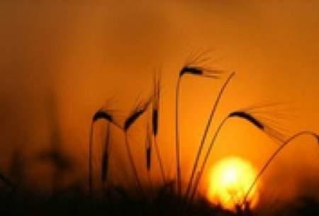 فسادی در گندم وجود ندارد که تایید کنیم