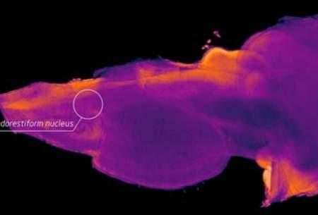 قسمت جدیدی در مغز انسان کشف شد