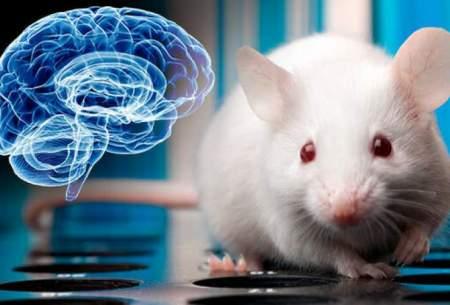 اتصال مغز انسان و موش به هم