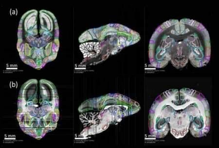 درک اتصالات نورونی با نقشهبرداری ازمغز میمون