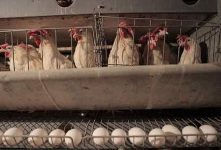 تورم ۸۰ درصدی هزینه تولید مرغ و تخممرغ