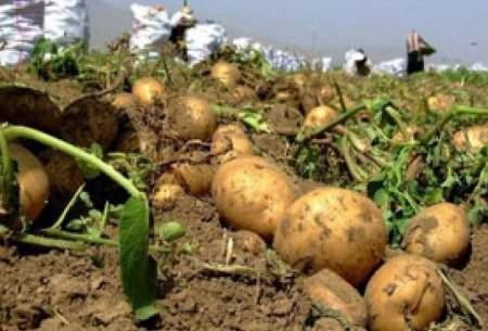 گرانی سیبزمینی ارتباطی به صادرات ندارد