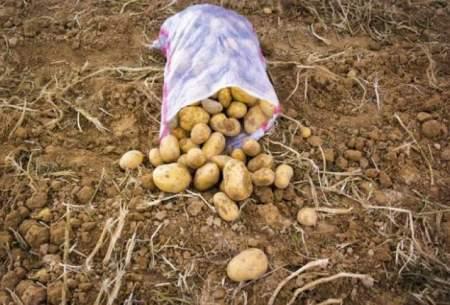 قیمت سیبزمینی کاهش یافت