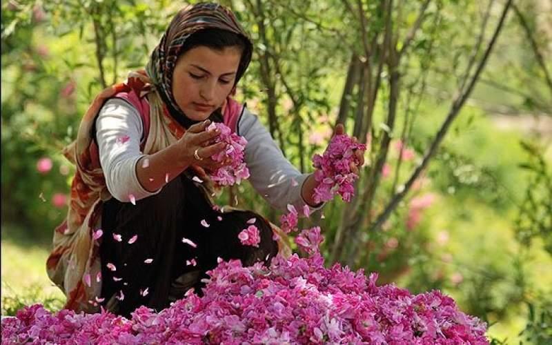 ایران بزرگترین پرورش دهنده گل محمدی در جهان