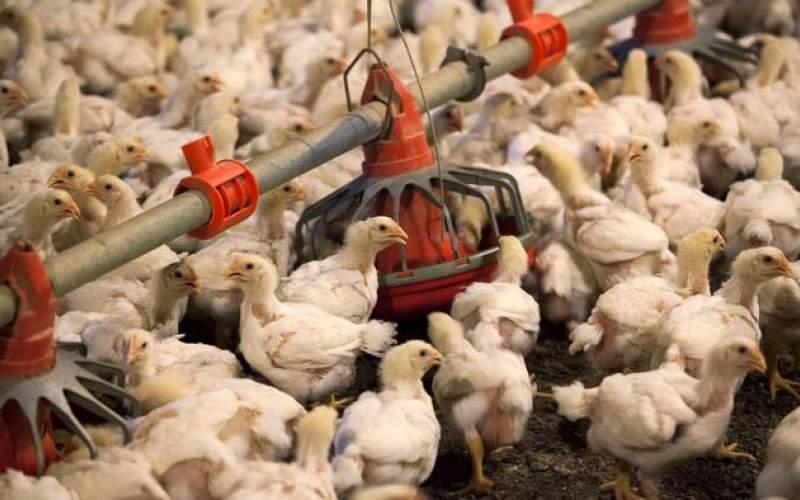 آیا مرغهای استان زنجان تریاکی هستند؟