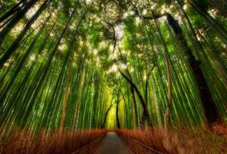"جنگل زیبای بامبو در ژاپن  <img src=""https://cdn.baharnews.ir/images/picture_icon.gif"" width=""16"" height=""13"" border=""0"" align=""top"">"