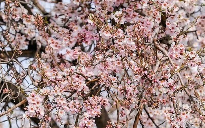 بهار برفی در روستاهای قم!/تصاویر
