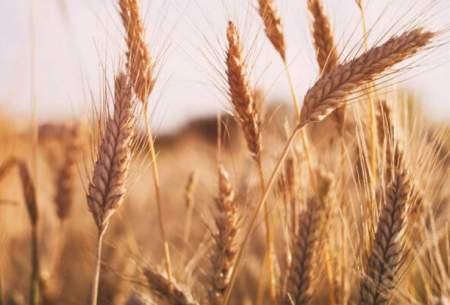 تولید ۱ میلیون و ۳۰۰ هزار تن گندم در فارس