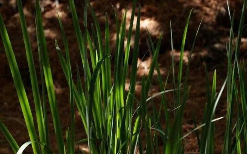 کنترل رشد گیاه با کمک نوعی پروتئین