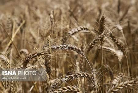 برداشت گندم در سیستان وبلوچستان آغاز شد