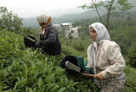 برداشت برگ سبز چای گیلان از اول اردیبهشت