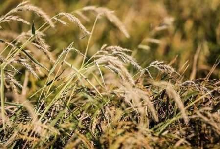 افزایش قیمت برنج و گندم به خاطر ترس از کرونا
