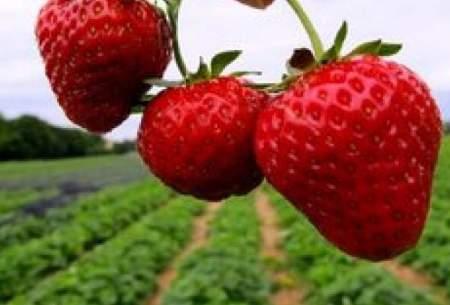 توت فرنگی، منبع تامین پتاسیم و کلسیم بدن