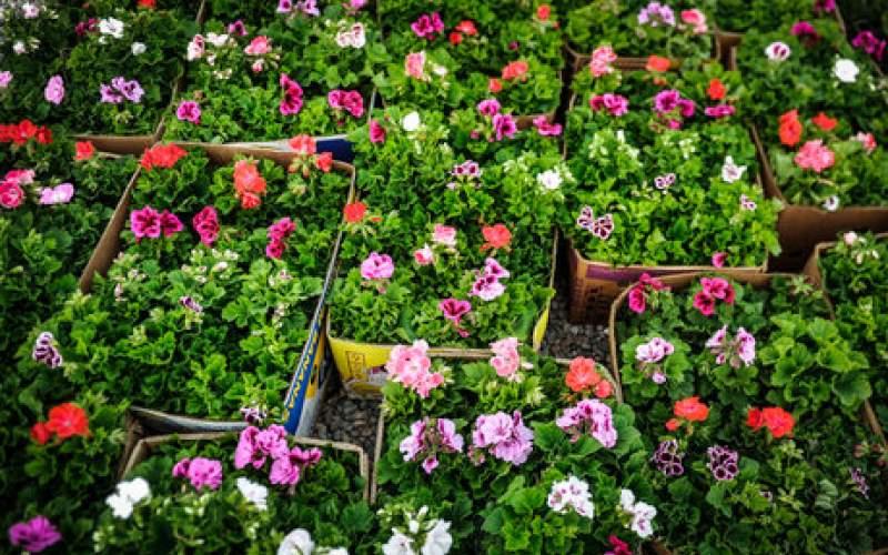 تولید ۴میلیارد گل زینتی در کشور