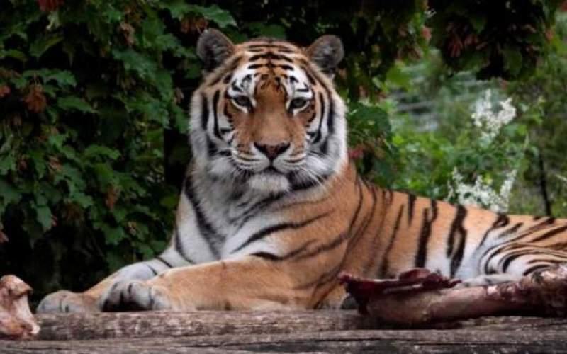 ببر سیبری کارمند باغ وحش را کشت