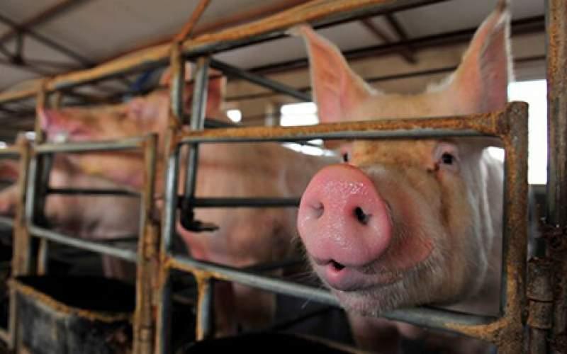 نگران آنفلوانزای خوکی جدید نباشید