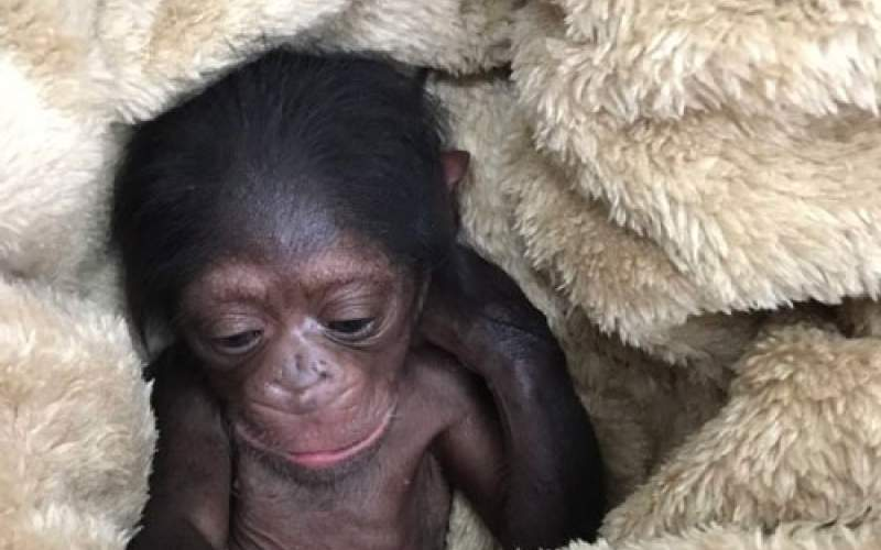 آخرین وضعیت باران بچهشامپانزه معروف ارم