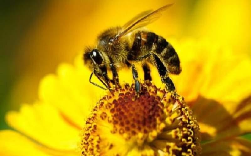 نیش زنبور عسل و نابودی سرطان سینه