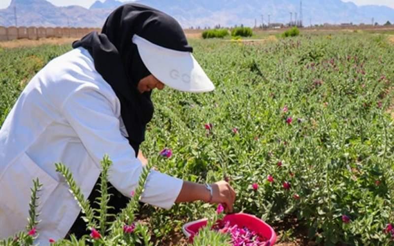 کشت گیاهان دارویی در تایباد افزایش یافت
