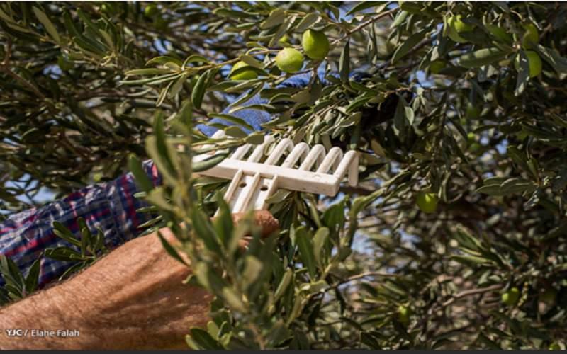 وضعیت تولید زیتون در ایران چگونه است؟