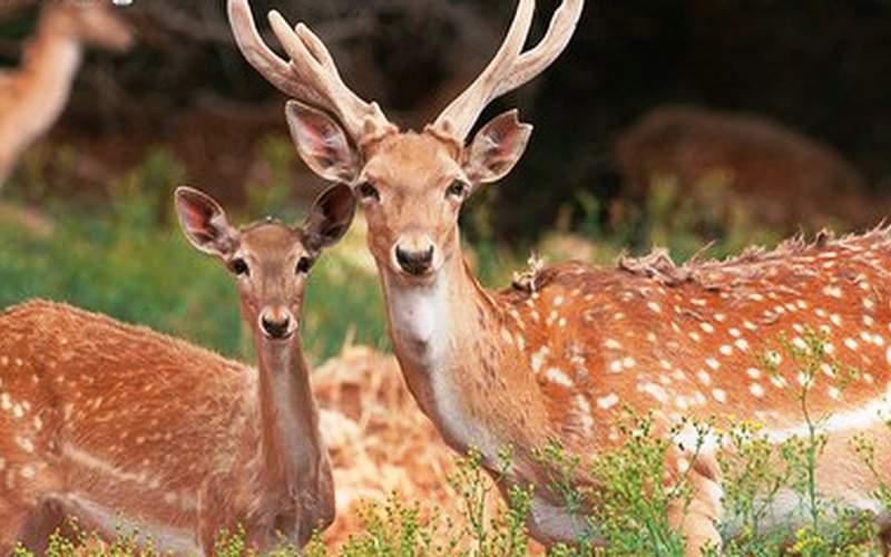 گوزن زرد ایرانی پستانداری در معرض خطر انقراض