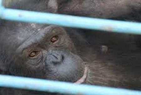 واکنش محیطزیست به مرگ شامپانزه باغوحش ارم