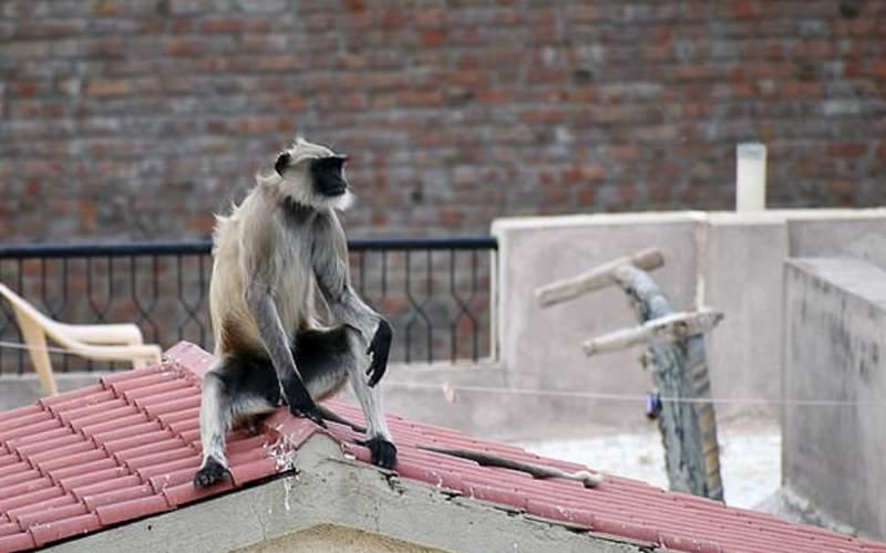 کشته شدن دختر نوجوان توسط میمون ها!