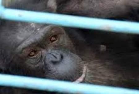 علت مرگ شامپانزه پارک ارم مشخص نشده است