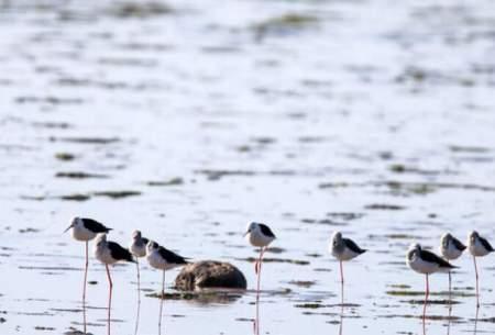 تالاب هامون میزبان پرندگان زمستان گذران