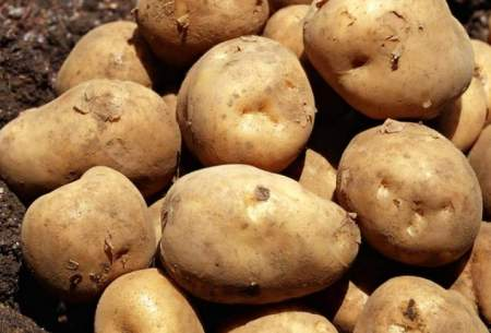 حراح سیب زمینی؛ هر کیلوگرم ۵ تا ۱۰ سنت