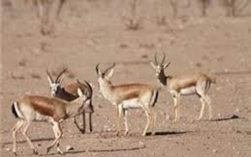 سرشماری پستانداران در کرمانشاه آغاز شد