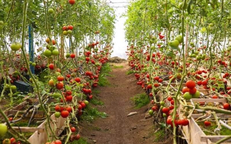 بذرهای هیبریدی زیر کشت انبوه می روند