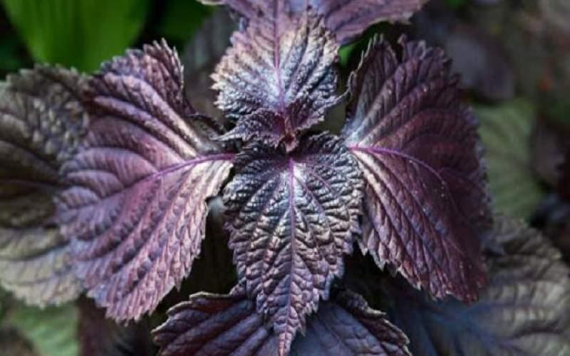 گیاه مریم گلی و نعنا در بهبود کووید ۱۹ موثرند