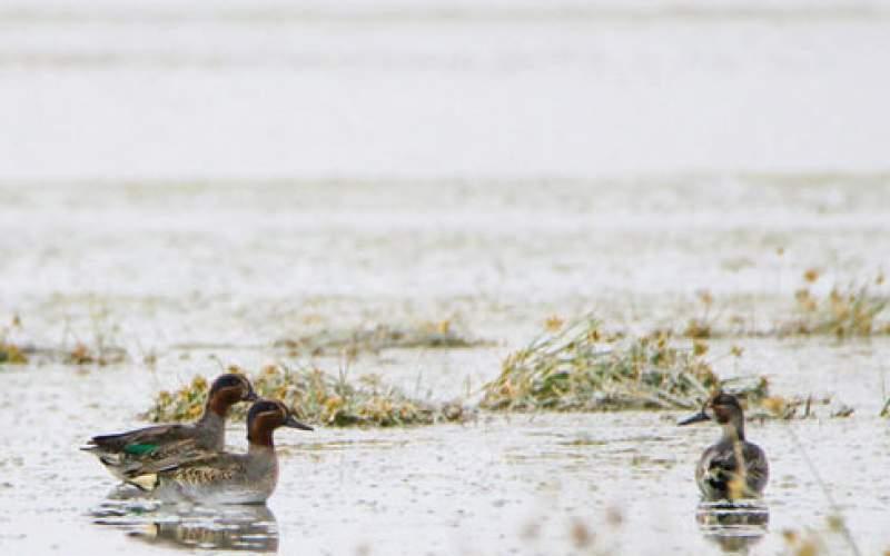مرگ ۴۰۱ پرنده در تالاب میقان