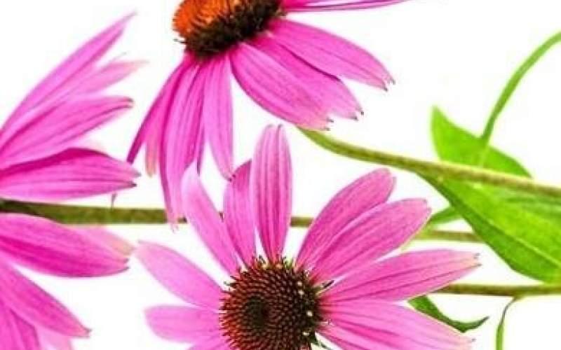 پیشگیری از سرماخورگی با مصرف سرخارگل