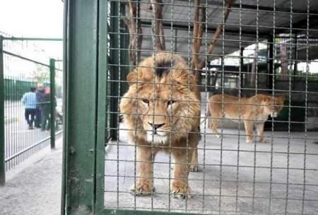 شیر باغ وحش مشهد مسموم و کشته شد