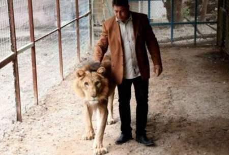 مرد عراقی گوسفندهایش را فروخت تا شیر پرورش دهد