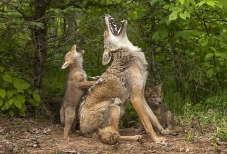 تقلید بچه گرگها در زوزه کشیدن/ تصاویر