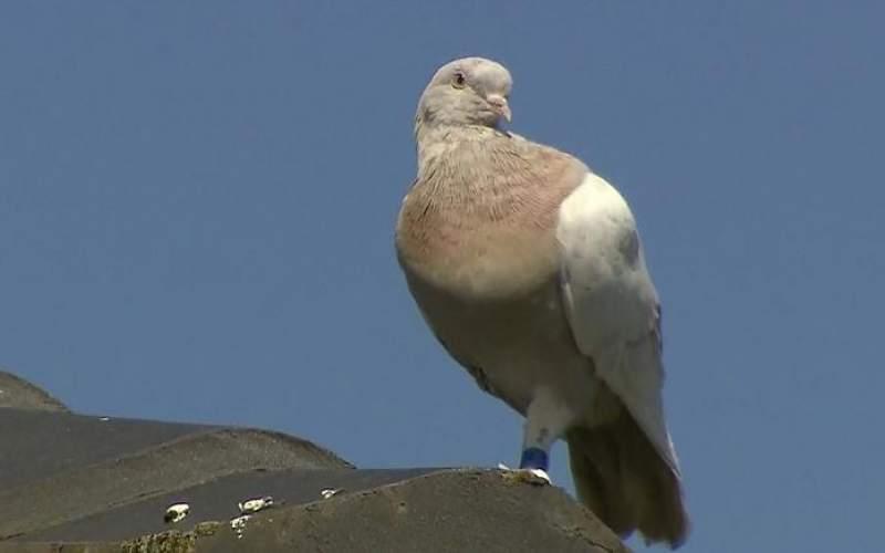 کبوتری که خود را  به استرالیا رساند کشته میشود