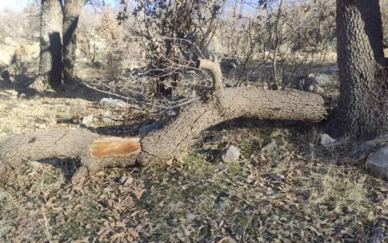 مرگ زمستانی بلوط های لوداب بویراحمد