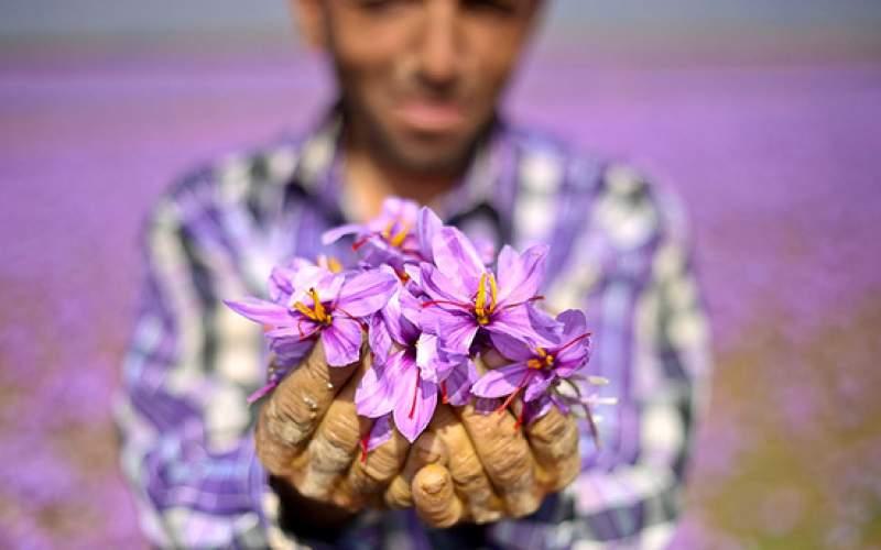 کیفیت زعفران ایرانی فدای دلالان چینی شد