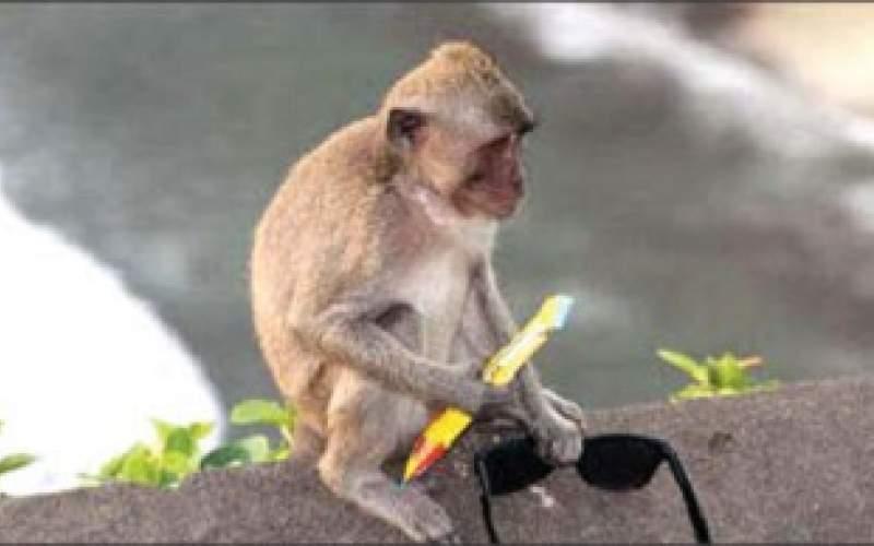 میمونهای کاسب در جزیره بالیِ اندونزی