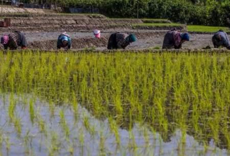 بیاعتنایی کشاورزان به ممنوعیت کشت برنج