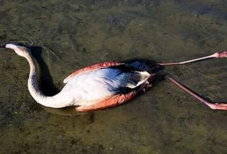 مرگ ۱۱۷ پرنده مهاجر در تالاب میانکاله